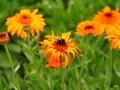 Orangea blommor med humla
