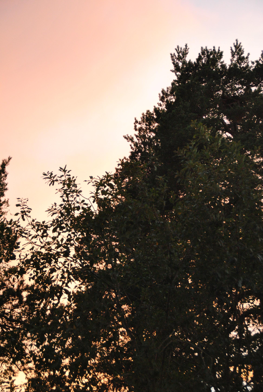 Himmel och träd i skymningen